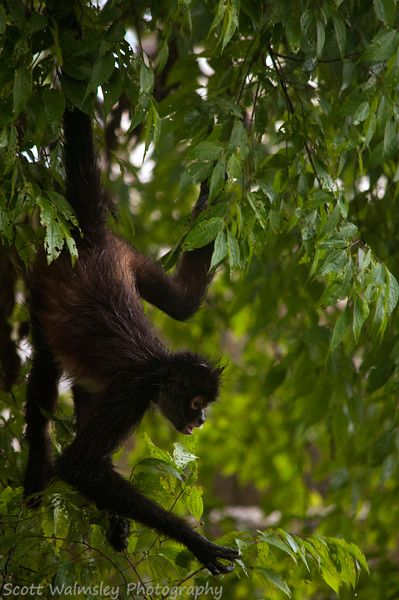 Spider Monkey (Ateles sp.) looking for food, Guatemala
