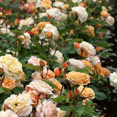 Charles Austin :- Large blooms of fruity fragrance.