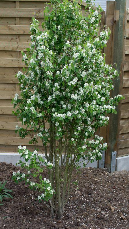 Amelanchier alnifolia 'Obelisk' – Papi Joe's Garden