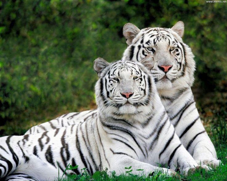 Coppia di tigri bianche