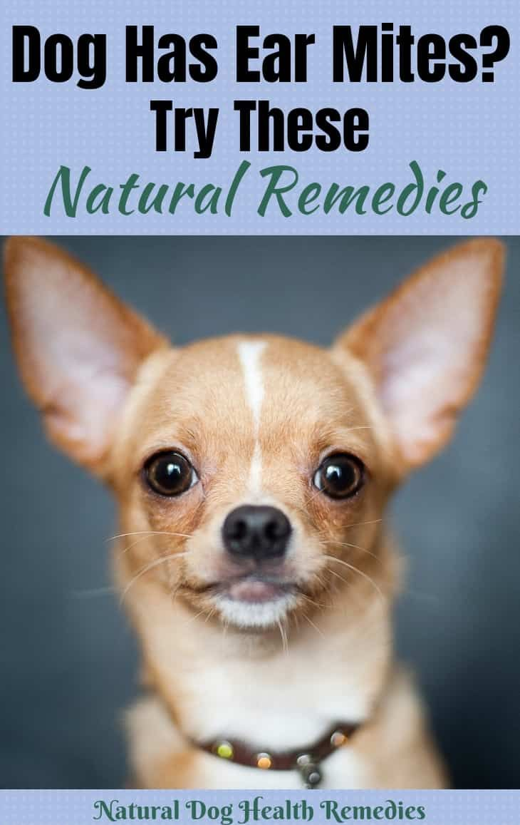 Dog Ear Mites Dog Ear Mites Dog Ear Mites Treatment Dog Itching Remedies