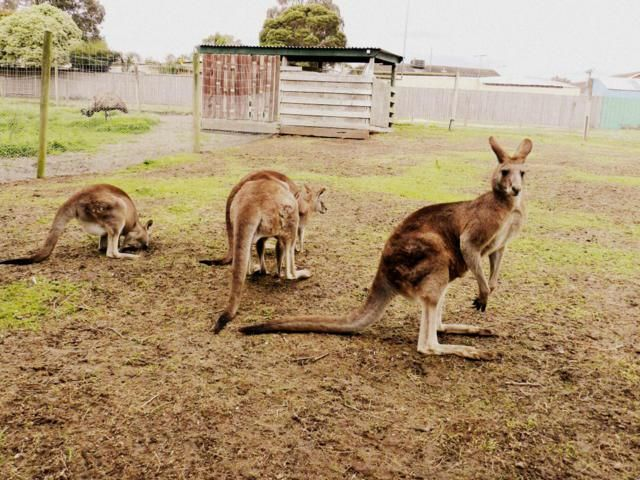 kangaroos at myuna farm, melbourne