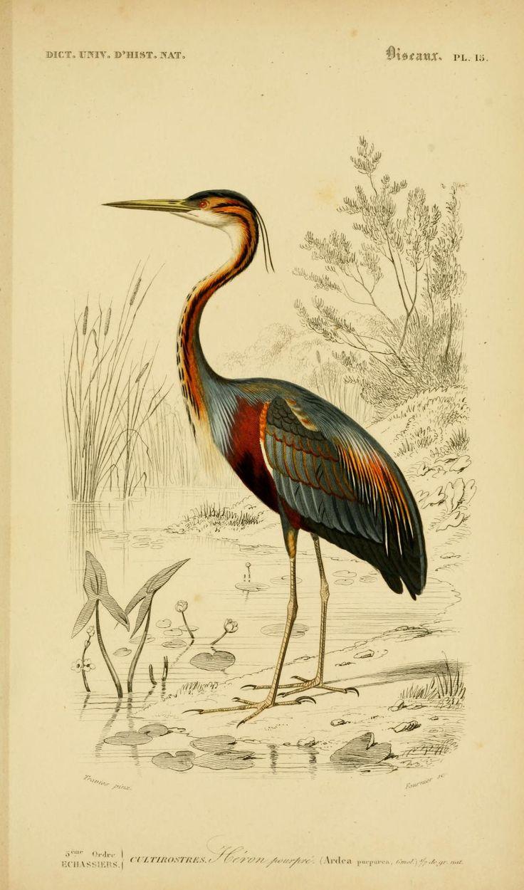 heron bird v. 1 1849 - Atlas (Zoologie - Humaines, Mammiferes & Oiseaux) - Dictionnaire universel d'histoire naturelle