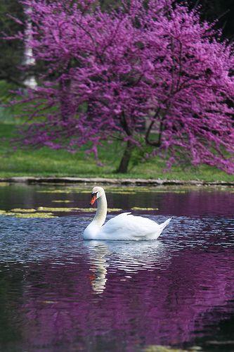 Spring Grove Swan