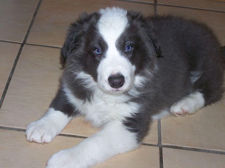 Free Border Collie Puppies Deacon, blue/white boy age 7