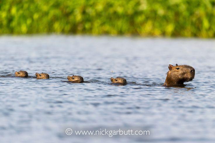 capybara swimming | Stuff | Pinterest | Rodents, Brazil ...