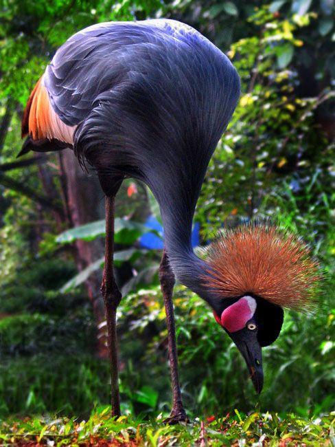 Crowned Crane - ©Hantu Laut (via TrekEarth)