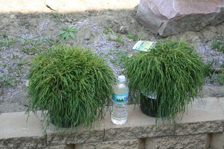 65 Best Evergreen Plants Images On Pinterest Garden 640 x 480