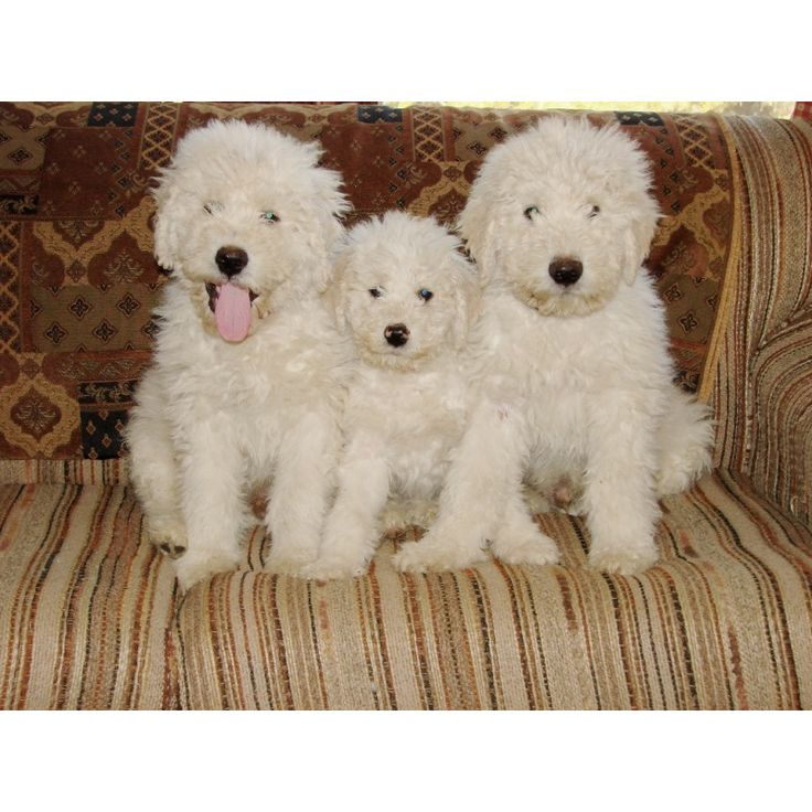 189 Best Images About Komondor On Pinterest Guard Dog