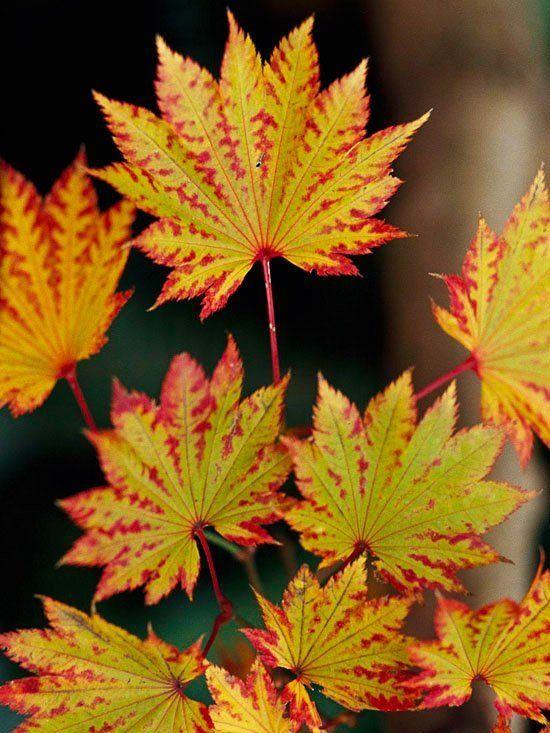 érable japonais Autumn Moon avecl feuilles vertes avec bords rouges