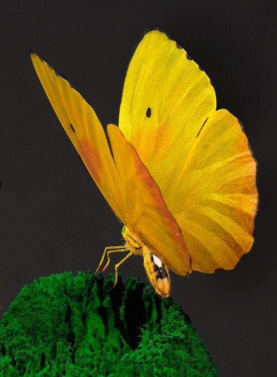 Pretty yellow butterfly.