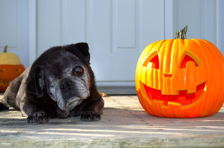 Percy and the pumpkin