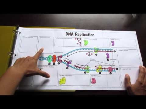 Big DNA Replication Foldable by Tangstar Science - YouTube