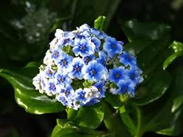 Special 'forget me not' endemic to the Chatham Islands, New Zealand