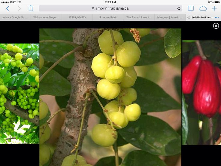 Jimbelin Tree Want To Try Making The Jamaican Drink