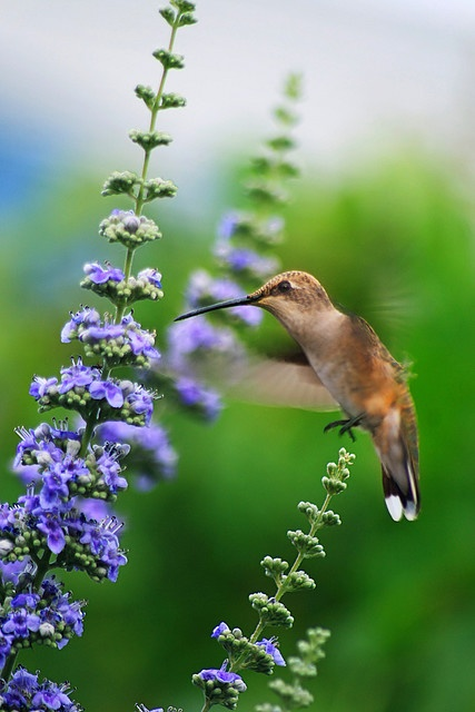 little hummingbird pausing on one branch while using long bill to reach nectar of flower on another branch.