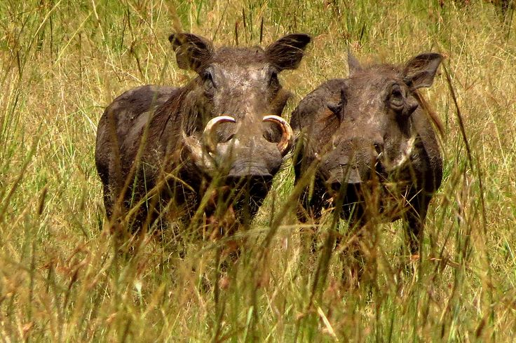 Warthogs - shy and ugly to boot!