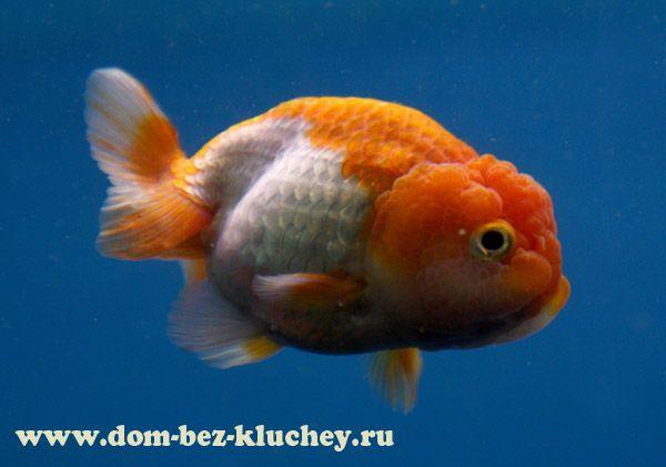 Lionhead goldfish   Породы золотых рыбок - Львиноголовка