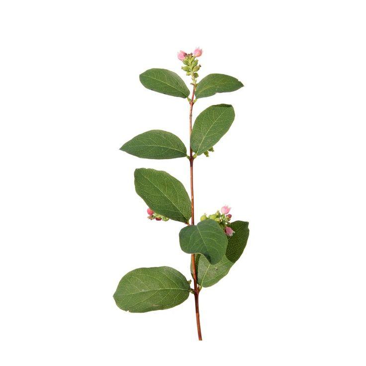 Śnieguliczka różowa - Symphoricarpos