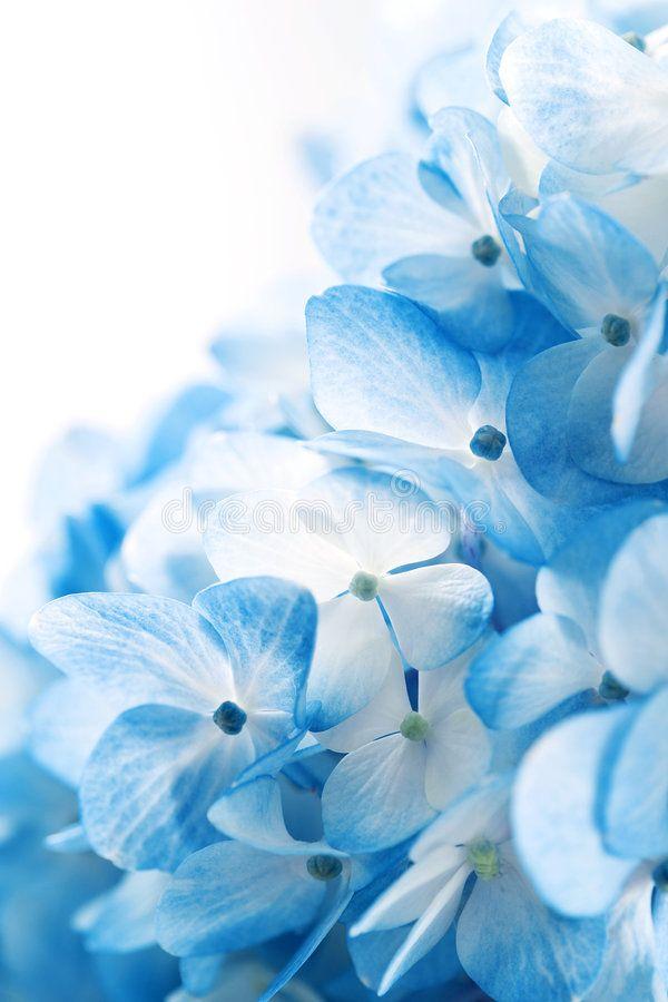 Hydrangea Flowers Blue Hydrangea Flowers Against White Background Spon Blue Flowers Blue Flower Wallpaper Hydrangea Wallpaper Flower Phone Wallpaper