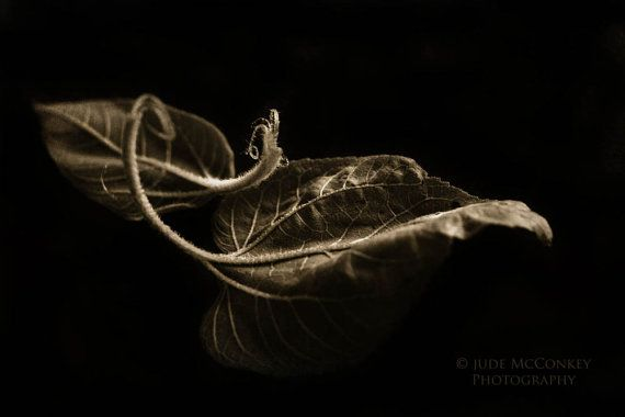 still life photography sepia leaves autumn by judeMcConkeyPhotos, $35.00