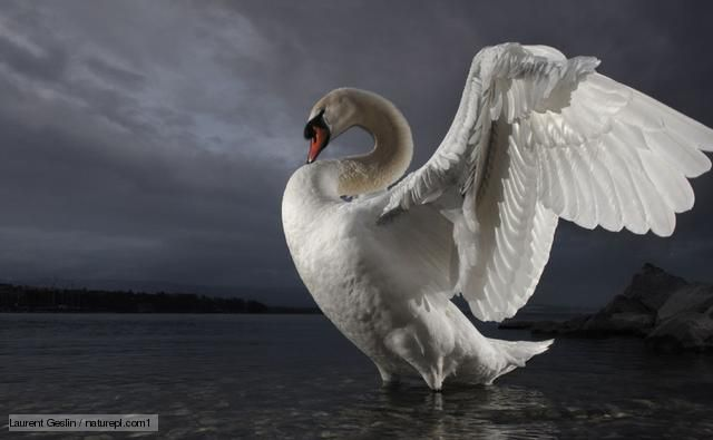 Mute swan standing in shallow water, stretching its wings