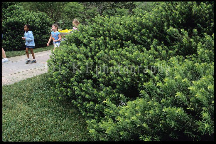 Pinterest the world s catalog of ideas for Cephalotaxus harringtonia duke gardens