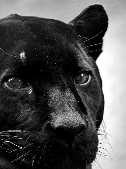 le wild Bagheera