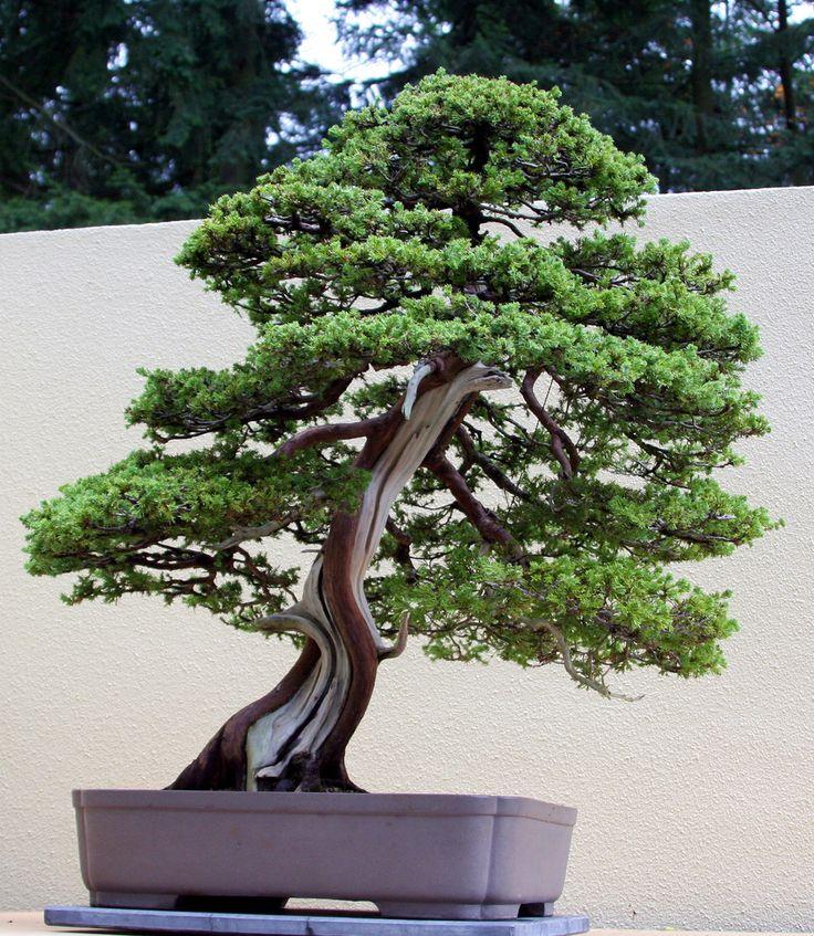 60 best Bonsai images on Pinterest | Bonsai plants, Bonsai trees and ...