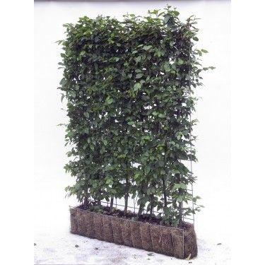 Carpinus betulus haagbeuk kant en klaar element 155 hoog