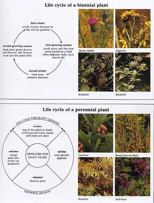 Life Cycle of Biennial and of Perennial plants | GARDEN ...