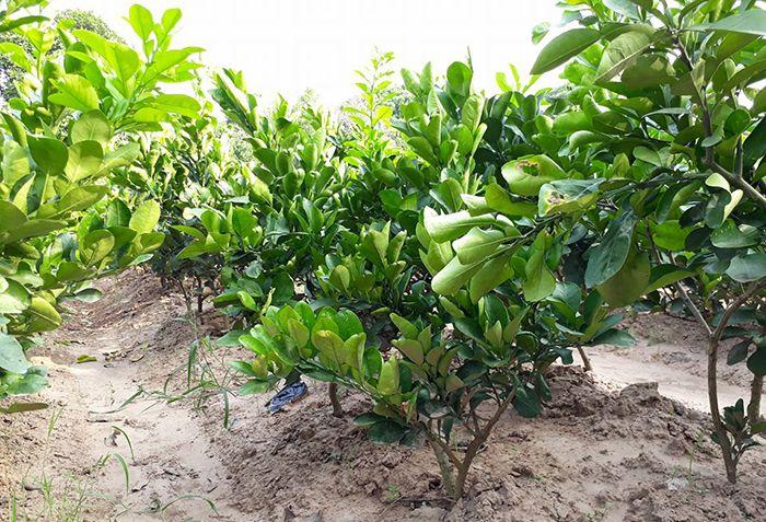 Tìm hiểu giá cây bưởi Diễn giống - loại 1 chính gốc đã ra vườn ươm - liên hệ 0989341023 để đặt mua