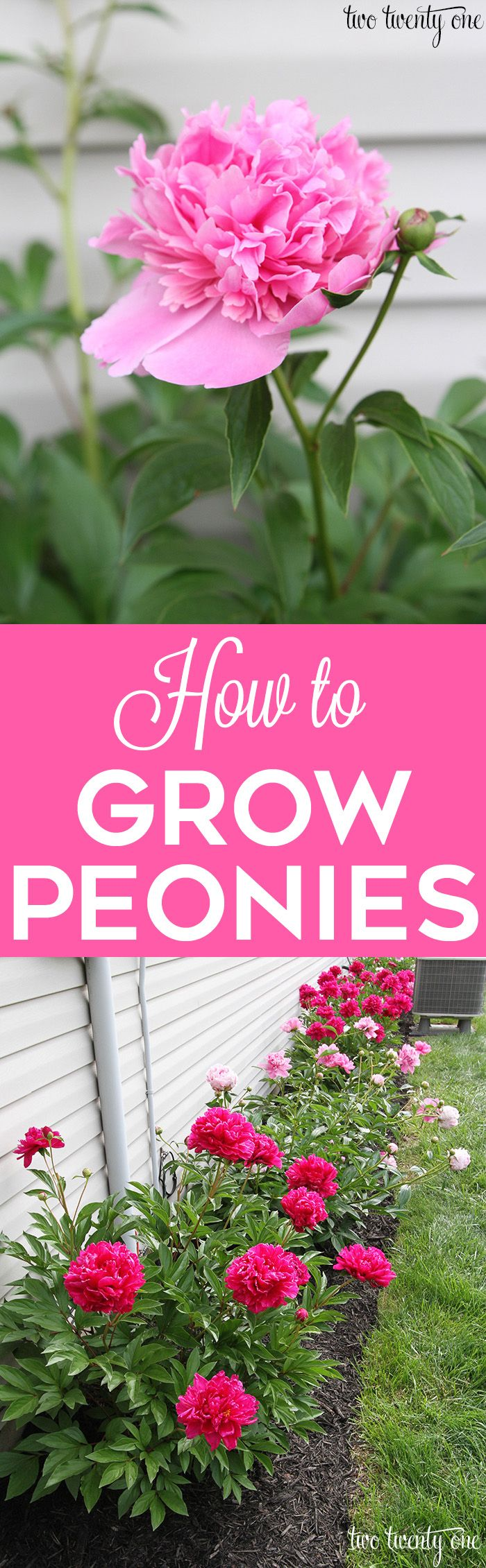 GREAT tips on how to grow peonies! http://twotwentyone.net/growing-peonies/