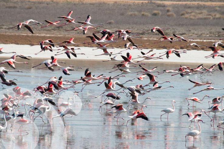 Greater flamingo in Villacañas lagoon