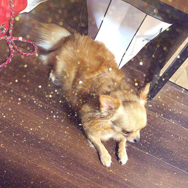 #愛犬#犬#dog#LOVE#ミニピン#チワワ#ヒメ#ペロ#アイドル#犬#子供#愛してる❤#茶屋町#梅田#靱公園#本町#公園#大好き#ランチ#Time #出没高め