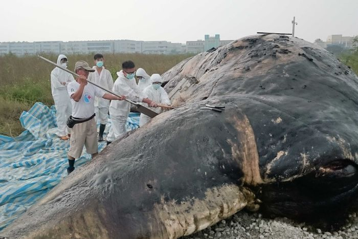 Conservationists discover rubbish haul in stomach of dead whale