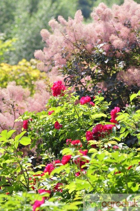Piękn duet: róża Flammentanz i perukowiec podolski 'Royal Purple'