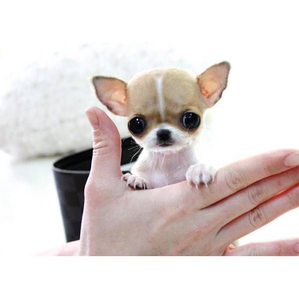 Adorable Chi puppy.
