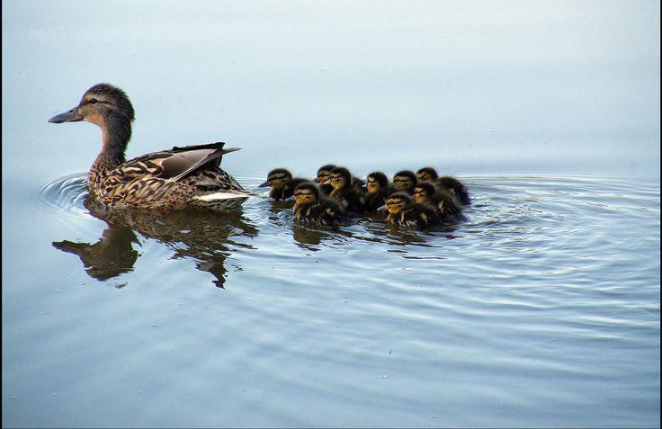 https://flic.kr/p/ptB9zX | Duck family.