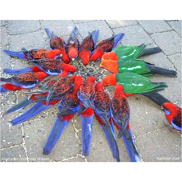 Australian Wreath ...  There is nothing more beautiful than nature at its best!!  This delightful circle was taken at Lamington National Park west of the Gold Coast, Queensland, Australia.   They are native parrots.  The red and blue are Crimson Rosellas.  The red and green are King Parrots.