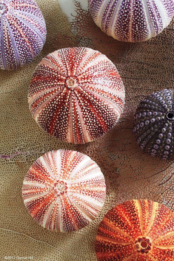 coquillage oursins de toutes les couleurs                                                                                                                                                                                 Plus