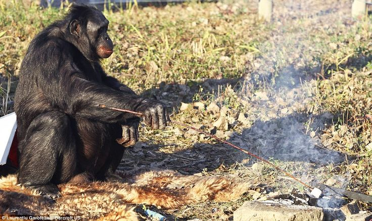 Kanzi, a bonobo of the Great Ape Trust in Des Moines, IA,  lights a fire with matches, pops a marshmallow on a long stick and toasts it with care making sure he doesn't get his fingers burnt. At 31 years old, Kanzi is able to understand and communicate with humans via sign language and is now creating his own stone tools. by dailymail.co.uk. Photo by Laurentiu Garofeanu /Barcroft #Kanzi #dailymail_co_uk #Laurentiu_Garofeanu