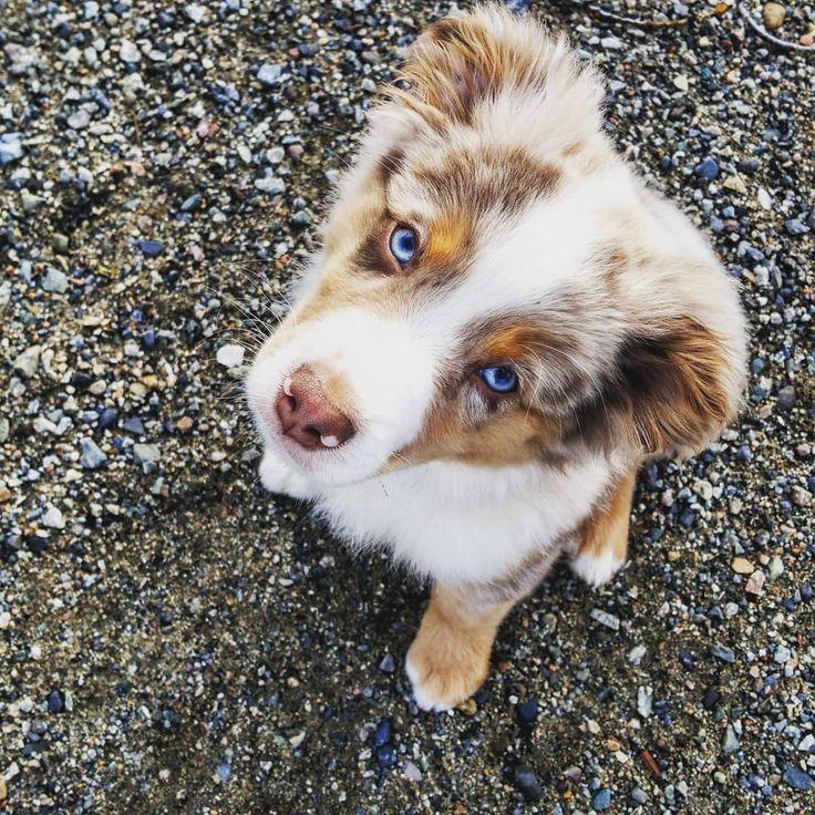 Blue eyes red merle australian shepherd 😍 – See…