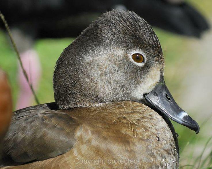 Best ducks images on pinterest beautiful birds