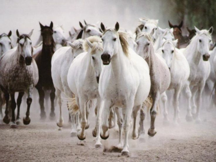 wild animal pictures | Beautiful Wild Horses Running Animal Picture HD Wallpaper