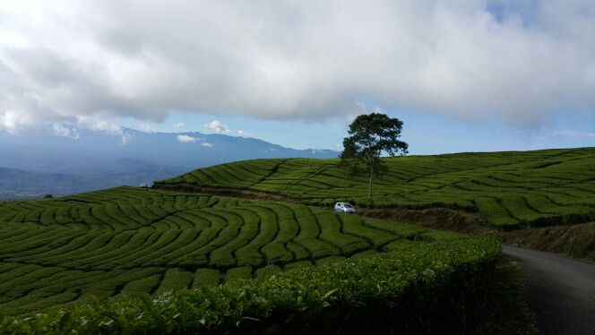 Tea plantation...#pagaralam