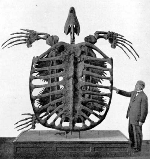Archelon ischyros, the giant sea turtle, lived around 75-65 million years ago in the Late Cretaceous period, a time when North America was mostly covered by a shallow, tropical sea. About 4m (13ft) long and 4.9m (16ft) wide, it is estimated to have weighed more than 2200kg or 4900lb and may have had a life span of around a century.