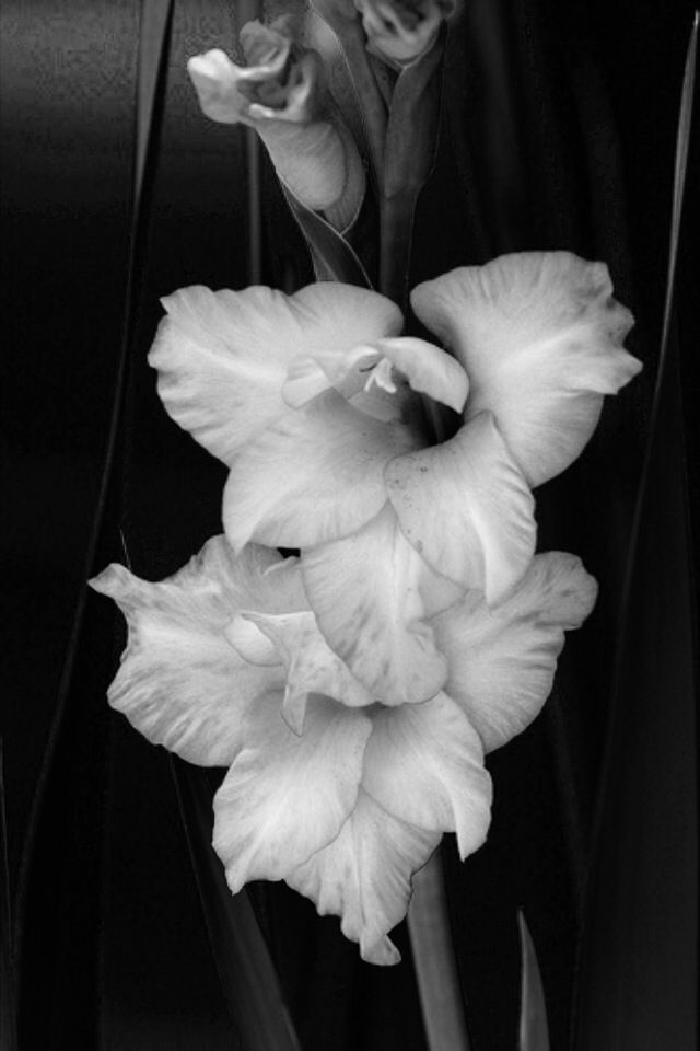 Gladiolus. August birth flower meaning strength. Perfect for shoulder piece!