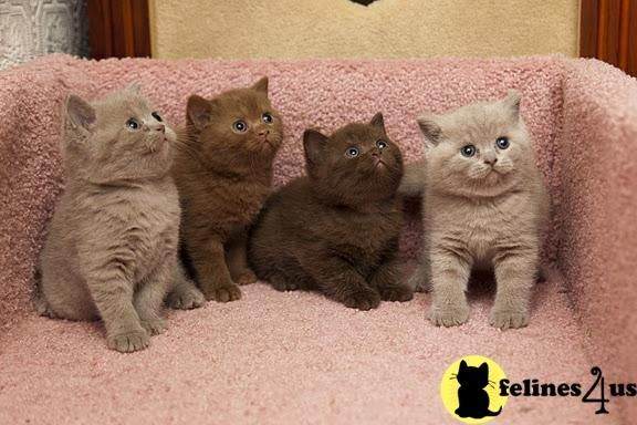 British Shorthair Cinnamon And Chocolate Cat British Shorthair