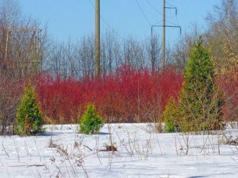 Верба красная, шелюга, краснотал, ива остролистная (Salix acutifolia Willd.)